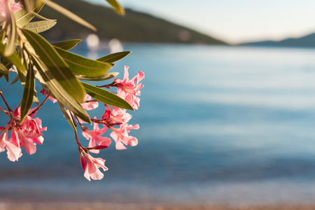Beautiful pink oleander flowers are blooming on blurred background of sea, mountains, blue waves with glares on beach. Foto de archivo