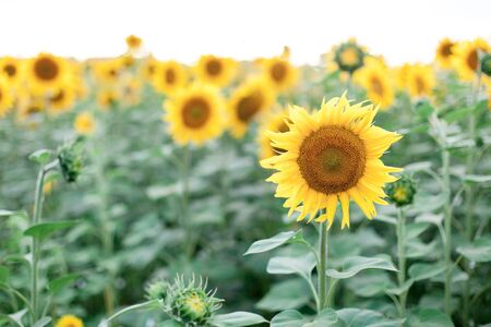 Sunflowers field. Concept of summer time, holiday. Rural or countryside scene. 写真素材 - 135181054