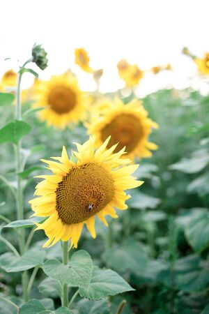 Sunflowers field. Concept of summer time, holiday. Rural or countryside scene. 写真素材