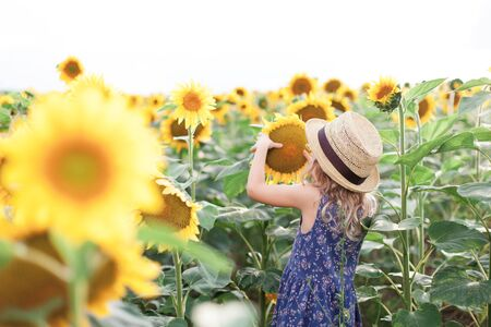 Kid is looking at sunflowers on summer holiday. Child girl in straw hat stands back and holds yellow flower. Rural scene.