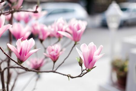 Magnolia soulangeana is blooming on spring city streets. Bushes of flowers are pink and purple.