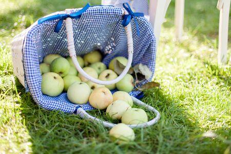 Apples are in basket. Harvesting in summer garden.
