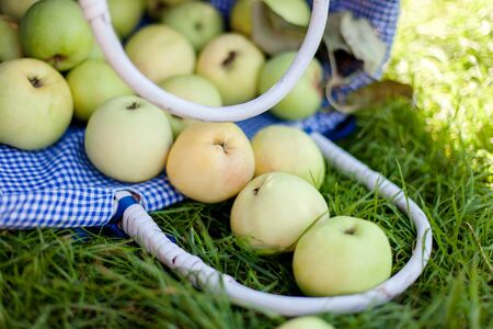 Apples are on green grass. Ripe fruits fell out of basket. Summer harvesting in garden. Close up. 免版税图像
