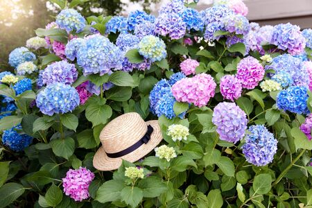 Straw hat in hydrangea bushes in sunset garden. Pink, blue, lilac flowers blooming in spring and summer.