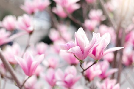 Magnolia flowers blooming in spring city streets. Pink bushes in park. Blossom tree in garden. Floral background.