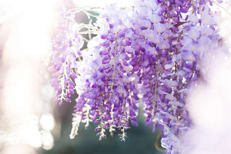 Beautiful wisteria flowers blooming in spring garden. Wisteria trellis blossom in sunset park.