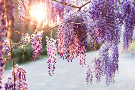 Wisteria flowers are blooming in sunset street. Beautiful wisteria trellis blossom in spring garden. Chinese park.