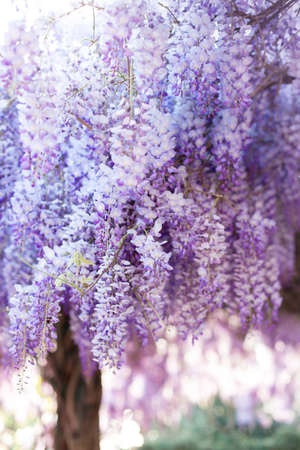Wisteria tree blooming in sunset garden. Beautiful flowering trellis blossom in spring. Japanese park and flowers tunnel.