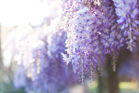 Wisteria flowers are blooming in sunset garden. Beautiful flowering tree blossom in spring. Japanese park.