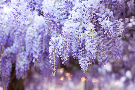 Spring flowers wisteria. Flowering tree blooming in sunset garden. Beautiful flowers tunnel blossom in Japanese park.