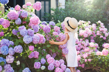 Little girl in bushes of hydrangea flowers in sunset garden. Flowers are pink, blue, lilac and blooming by country house. Kid is in pink dress, straw hat. Romantic concept of childhood, tenderness.