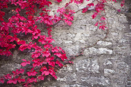 Autumn background and texture. Vine red leaves of wild grapes decorate stone gray wall of old rural country house.