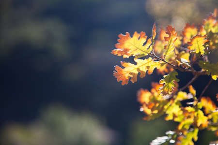 Yellow and orange aurumn leaves on branch of oak tree at green forest or park background. Sunny light. Banco de Imagens