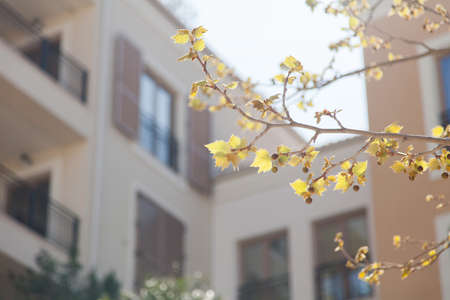 Autumn background. Yellow and orange leaves on branch of plane tree. Blurred architecture, modern building, hotel or house and windows with shutters. Blossom sycamore in sunny light. Banco de Imagens
