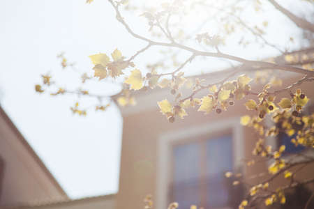 Autumn background. Yellow and orange leaves on branch of plane tree. Blurred architecture, modern building, hotel or house and windows with bets. Blossom sycamore in sunny light.