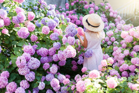 Little girl is in bushes of hydrangea flowers in sunset garden. Flowers are pink, blue, lilac and blooming in town streets. Kid is in pink dress, straw hat. Concept of childhood, tenderness.