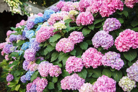 Hydrangea is pink, blue, lilac, violet bush. Flowers are blooming in town streets. Beautiful countryside garden.