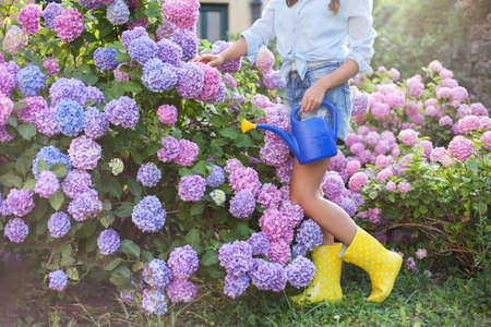 Gardening. Girl is working in garden with bushes of hydrangea. Flowers are pink, blue and blooming in town streets. Woman is in yellow rubber boots. Gardener is working with watering can. Banco de Imagens