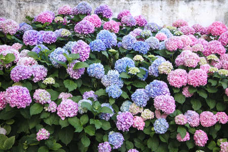 Hydrangea is pink, blue, lilac, violet, purple flowers. Bushes are blooming in spring and summer in town garden. Banco de Imagens