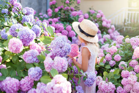 Little girl is in bushes of hydrangea flowers in sunset garden. Flowers are pink, blue, lilac and blooming in town streets. Kid is in pink dress, straw hat. Romantic concept of childhood, tenderness. Banco de Imagens