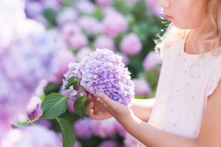 Big hydrangea flower is in girls hand in sunset garden. Bushes of flowers are pink, blue, lilac and blooming in town streets. Kid is holding bouquet. Romantic concept of childhood, tenderness.