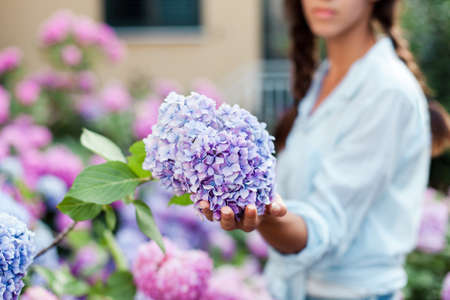 Gardening in bushes of hydrangea. Girl chooses bouquet in country garden. Flowers are pink, blue and blooming in town street. Woman is gardener and florist. Banco de Imagens
