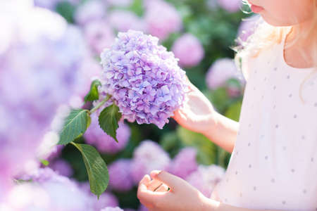 Big hydrangea flower is in girls hand in sunset garden. Bushes of flowers are pink, blue, lilac and blooming in town streets. Kid is holding bouquet