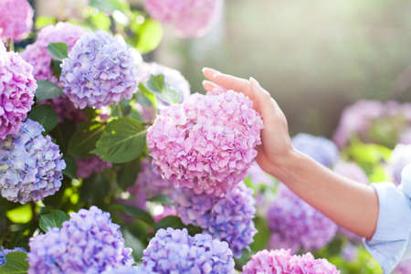 Gardening in bushes of hydrangea. Girls hand touches bunch in country garden. Flowers are pink, blue and blooming in town street at sunset or sunrise. Woman is gardener and florist. Banco de Imagens