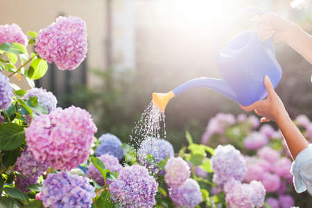 Gardening. Girl is working in garden of bushes hydrangea. Woman gardener waters flowers with watering can. Flowers are pink, blue and blooming in town streets. Banco de Imagens