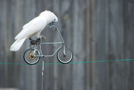 Parrot on the bicycle