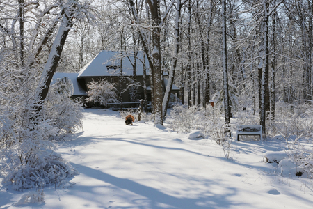 Scenic view with private house in covered by fresh snow forest. Wild turkey with open tail on driveway during sunrise. Wisconsin wildlife nature background.