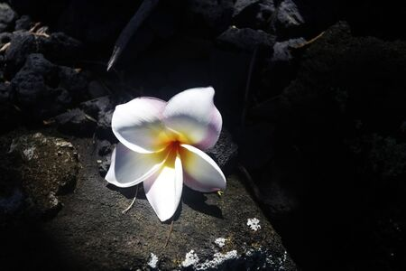 Scenic view with white frangipani flower in sunlight on the shadowed black lava stones. Hawaii Big Island, USA.