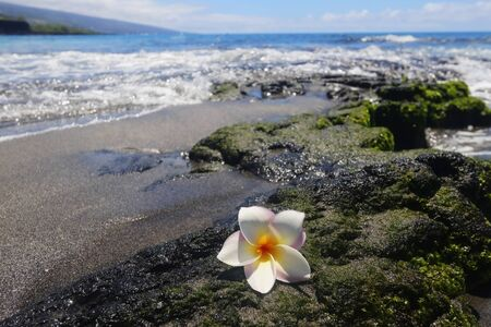 Scenic view with white frangipani flower on the black lava stone in the pacific ocean beach out of focus background. Hawaii Big Island, USA.