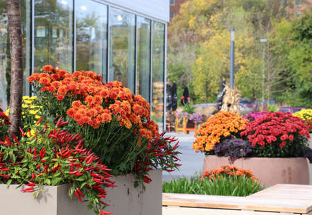 Fall season outdoor decoration with bright chrysanthemums and decorative red chili pepper on a shop windows background as a part of traditional american autumn holidays culture.