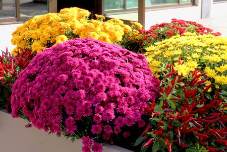 Fall season outdoor decoration with bright chrysanthemums and decorative red chili pepper as a part of traditional american autumn holidays culture.