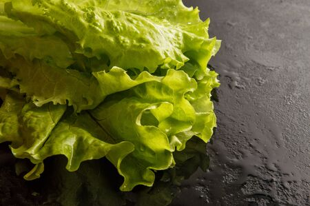 Close up, macro. Fresh green healthy curly salad lettuce wetted with water drops. Black background. Copy space on the right.