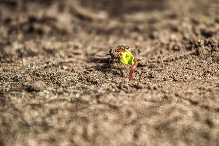 Close up, macro. Spring. Awakening of nature. Small green sprout germinates from sunflower seeds. Around the brown soil. Zdjęcie Seryjne