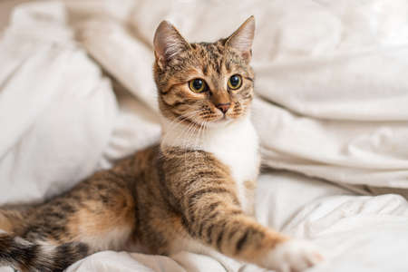 Close up. Portrait of a shorthair kitten on a white blanket. The kitten is watching something outside the frame.
