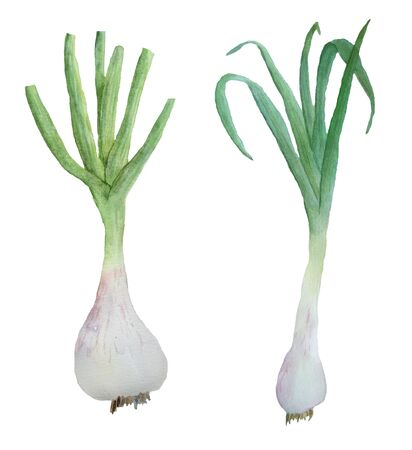 Watercolor hand drawn illustration set of natural organic garlic. Green fresh young garlic with stems and leaves. Spring agriculture harvest. Healthy food with vitamins anti-virus vegetarian culinary elements. Фото со стока