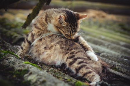 A colored tabby pregnant cat licks its fur on an old roof covered with moss Stock Photo