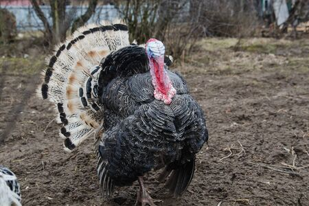 Beautiful turkey with black and white feathers close-up