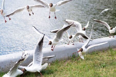 White seagulls fly near the city pond, soft focus 写真素材