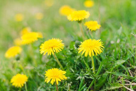 Yellow dandelions in a spring green meadow, selective focus Фото со стока