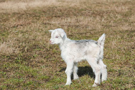 Little newborn goatling with white and gray hair in a spring pasture