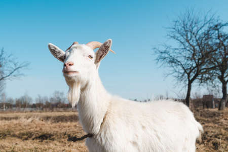 Young white horned goat on a pasture on a bright sunny day against a blue sky