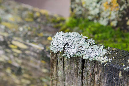Gray lichen on an old wooden fence, close-up
