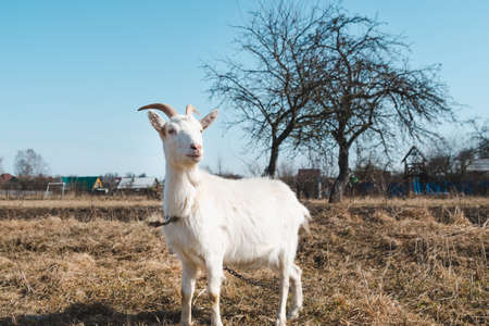 Young white horned goat on a pasture on a bright sunny day Standard-Bild