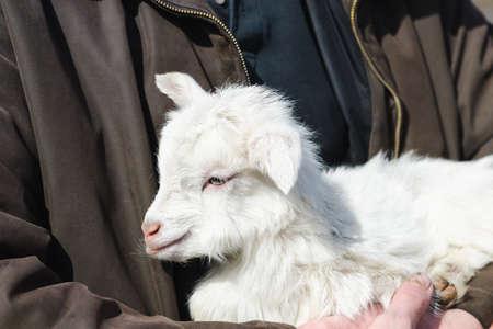 White cute little newborn goat in the hands of a farmer