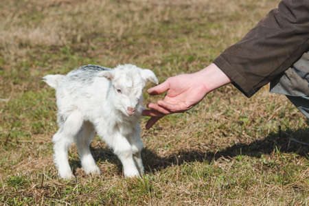 A male hand caresses a small newborn goat with white and gray fur on a spring pasture