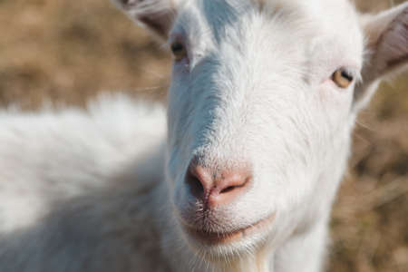 Head of a white goat in the pasture. Animal nose close up, selective focus Standard-Bild